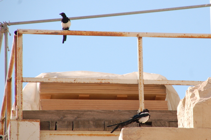 greece_acropolis_magpies