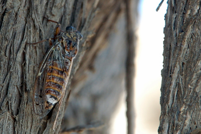 greece_athens_cicada