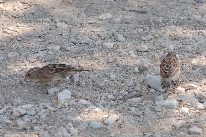 greece_athens_sparrows