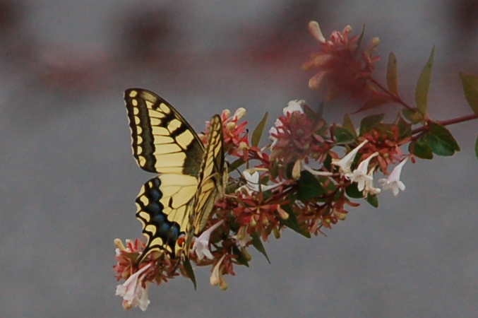 greece_butterfly1