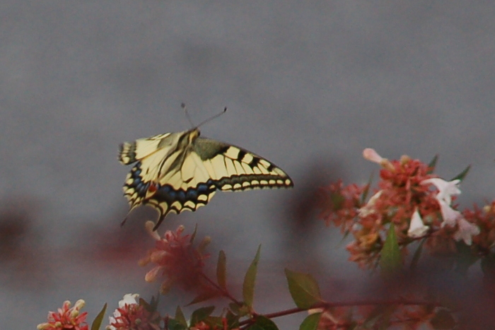 greece_butterfly2