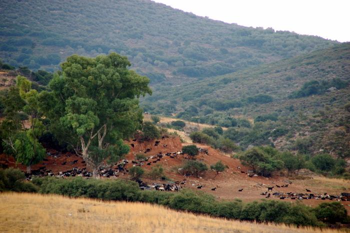 greece_mycenae_goats