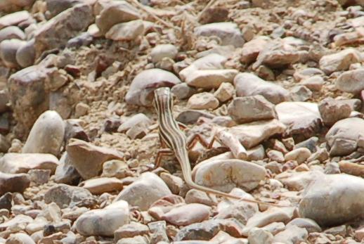 greece_olympia_lizard