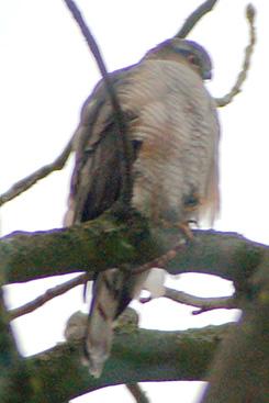 greifvogel2