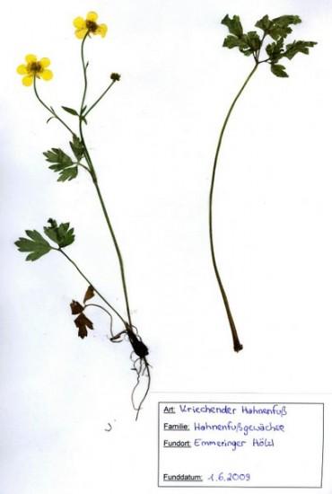 herbarium1_hahnenfuss