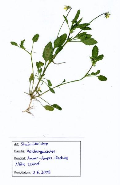 herbarium2_stiefmuetterchen