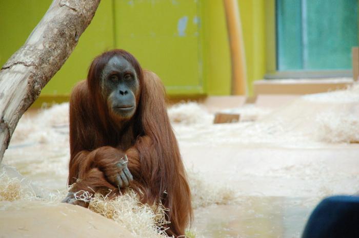 Orang Utan im Zoo