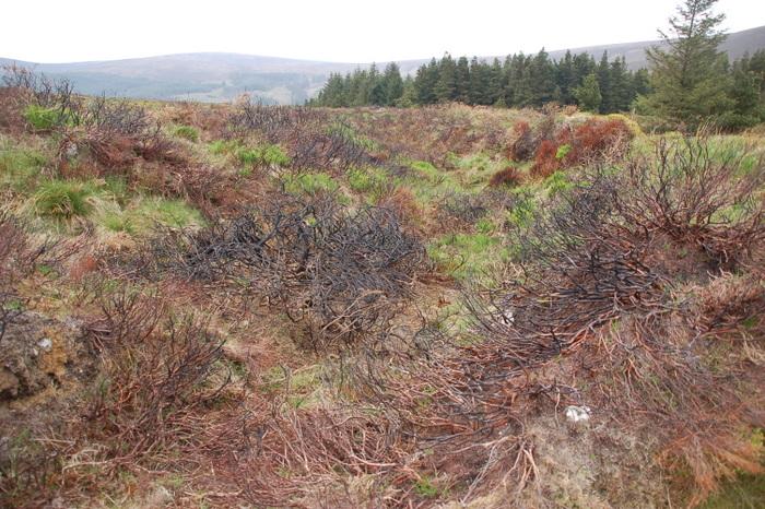 Landschaft mit verbranntem Stechginster